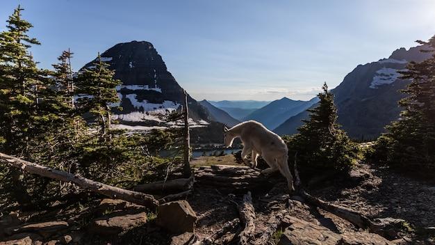 Bergziege am glacier national park