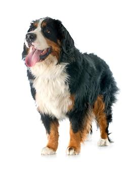 Berner berghund