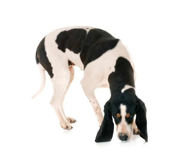 Berner schweizer laufhund