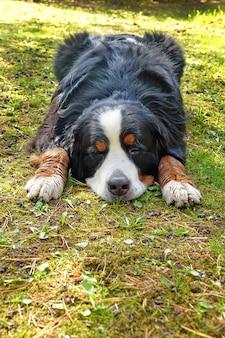 Berner sennenhund, der an einem sonnigen tag auf dem gras liegt.