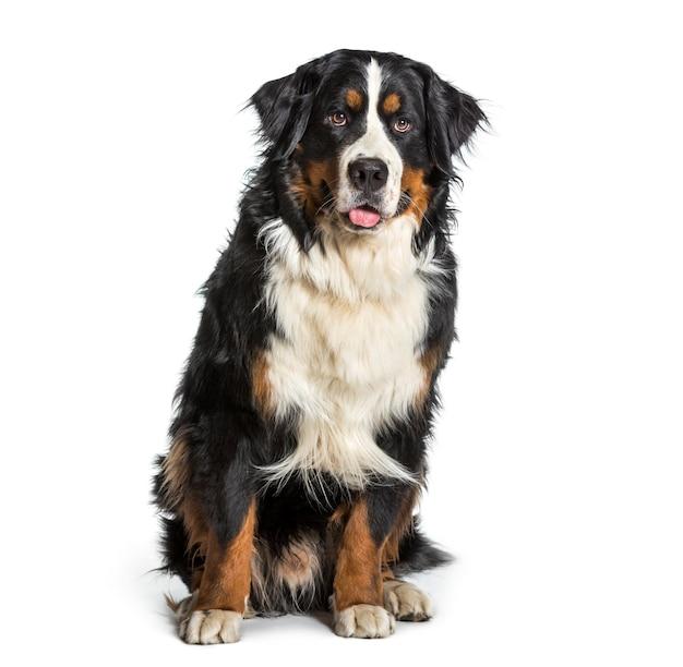 Berner sennenhund, der gegen weißen hintergrund keucht