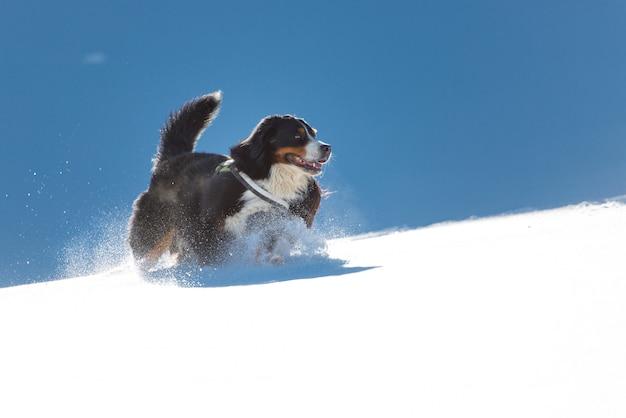 Berner sennenhund, der im schnee spielt