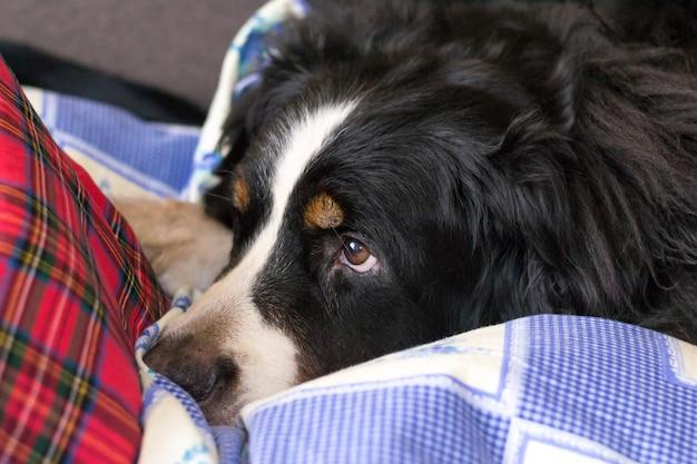 Berner sennenhund. hund schläft auf dem bett eines menschen. schlafenszeit.