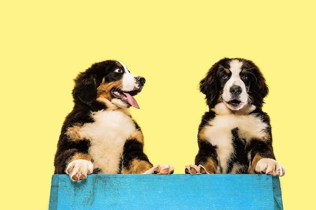 Berner sennenhund welpen posieren süßes weißbraunschwarzes hündchen oder haustier spielt auf gelb
