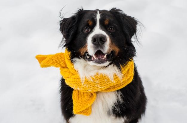 Berner sennenhundekopf mit dem schnee auf seinem gesicht, der gelben schal trägt
