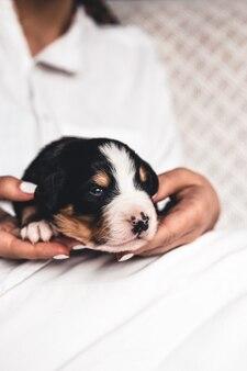 Berner sennenhundewelpe in weiblichen händen, pflege für tiere, neugeborene