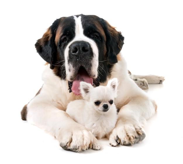 Bernhardiner und chihuahua