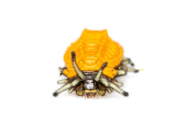Bernsteinfarbene raupe isoliert. tier. insekt.
