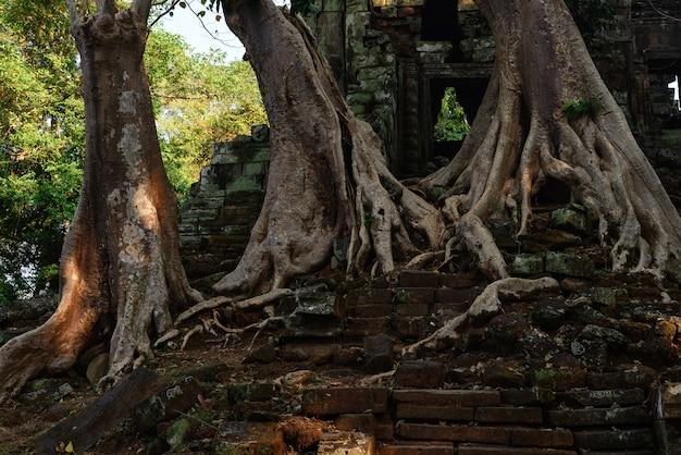 Berühmte dschungelbaumwurzeln ta prohm, die angkor-tempel, rache der natur gegen menschliche gebäude, reiseziel kambodscha umfassen.
