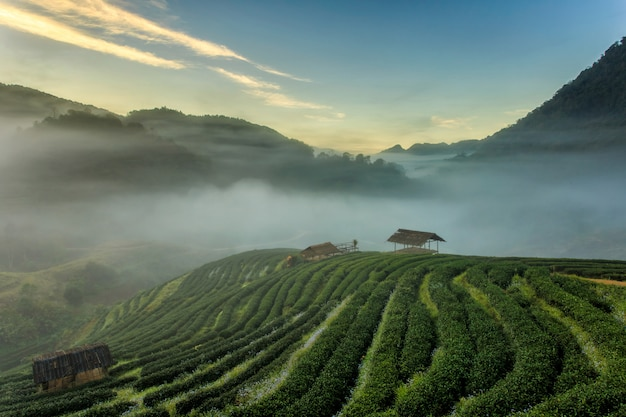 Berühmte touristenattraktion der schönen landschaft der teeplantage bei doi bei doi ang khang chiang mai