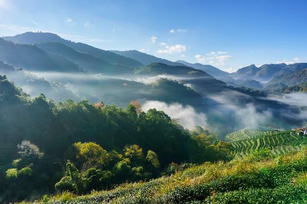 Berühmte touristenattraktion der schönen landschaft der teeplantage bei doi bei doi ang khang