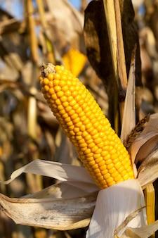 Beschädigte und schimmelige maiskolben, spät nicht geerntete pflanzen