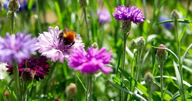 Beschäftigte hummel sammeln pollen in kornblumen. makrofoto