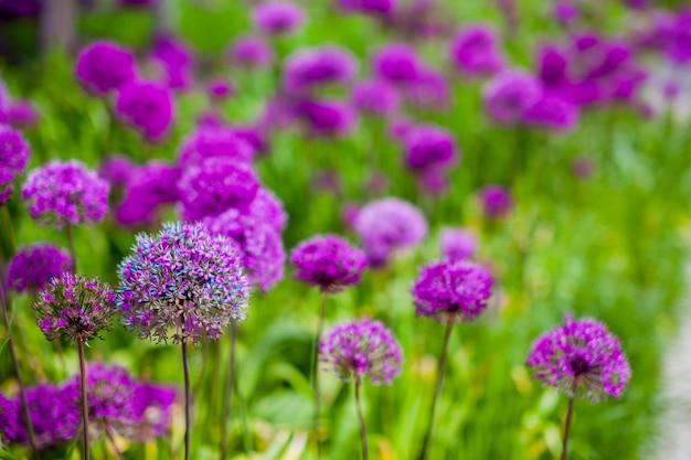 Beschaffenheit der grünen wiese mit violetten blumen.
