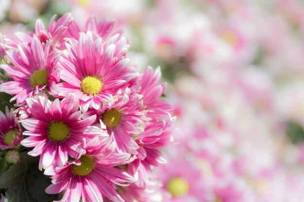 Beschaffenheiten des oberflächenmusters-designs klares frisches helles süßes bunt von der rosa blume