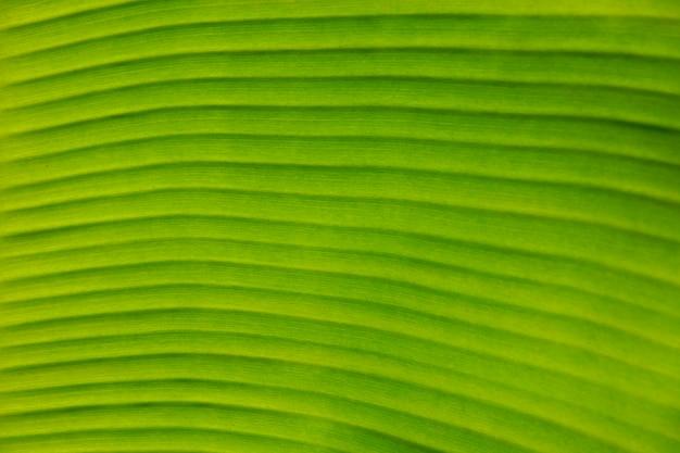 Beschaffenheits-hintergrund des hintergrundbeleuchtungs-frischen grünen bananen-blattes.