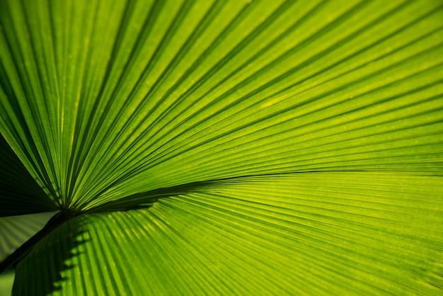 Beschaffenheitsoberflächenmuster-design klares frisches hell von den grünen blättern von palmen backgroun