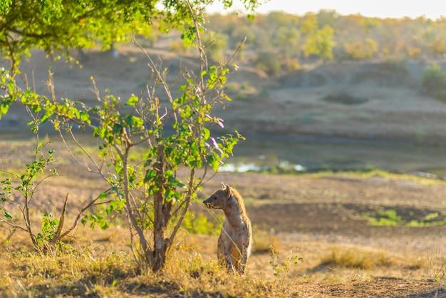 Beschmutzte hyäne, die im busch bei sonnenaufgang steht. wildlife safari im kruger national par