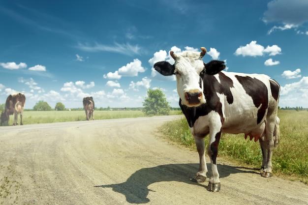 Beschmutzte kuh, die auf einer schönen grünen wiese gegen einen blauen himmel weiden lässt.