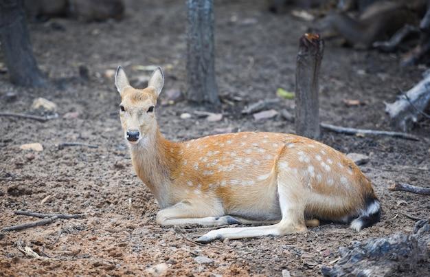 Beschmutztes wildes tier der rotwild im nationalpark andere namen chital, cheetal, mittellinienrotwild