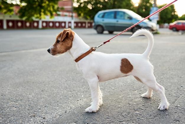 Besitzerin, die ihren jack russell terrier hund draußen geht