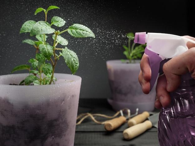 Besprühen von topfpflanzen mit wasser aus einer sprühflasche