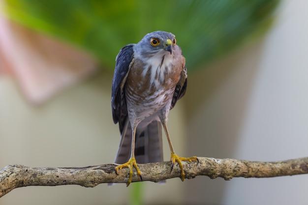 Besra oder little sparrow hawks (accipiter virgatus) stehend auf zweig