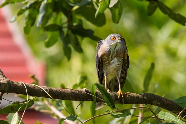 Besra oder little sparrow hawks
