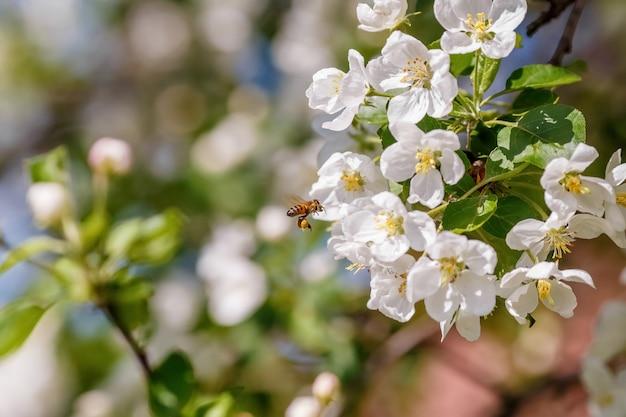 Bestäubender zweig des frühlingsapfelbaums der biene mit weißen blüten