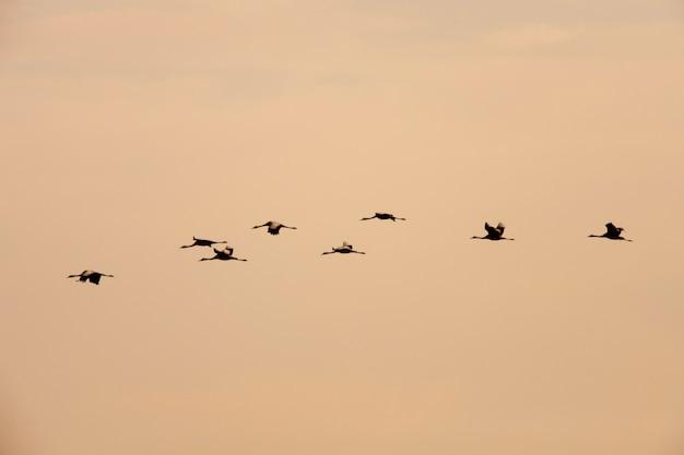 Bestellte kräne, die in formation fliegen