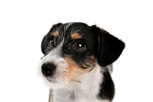 Bester freund. jack russell terrier kleiner hund posiert. nettes verspieltes hündchen oder haustier, das auf weißem studiohintergrund spielt. konzept der bewegung, aktion, bewegung, haustierliebe. sieht glücklich, erfreut, lustig aus.