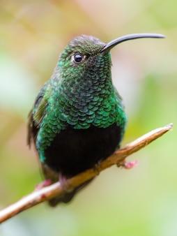 Bestrahlender grüner kolibri auf einem zweig