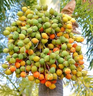 Betelpalmenfrucht oder betelnuss auf baum im garten