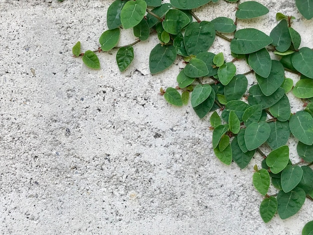 Betonmauer mit nahem hohem der kletterpflanze