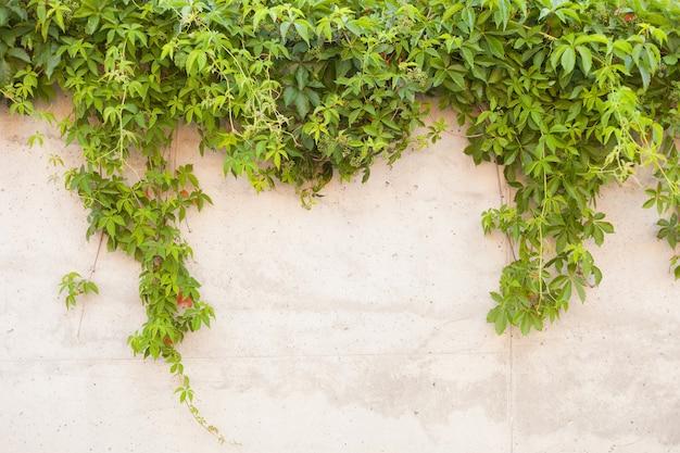 Betonwand mit grünem traubenhintergrund der strukturierten alten betonwand mit kletterpflanzentraube