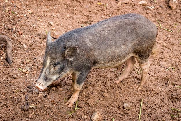 Beträchtliches schlammiges schmutziges wildschwein im herbstwald mit gefallenem laubstreu