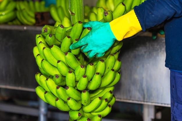 Betreiber, der bündel bananen in einer verpackungsanlage schneidet.