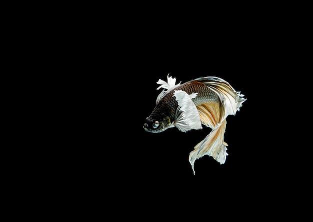 Betta fisch isoliert im dunkeln