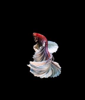 Betta fisch, siamesische kämpfe, betta splendens isoliert