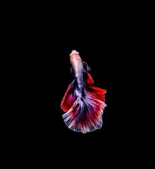 Betta fisch, siamesischer kampffisch, betta splendens lokalisiert auf schwarzem hintergrund