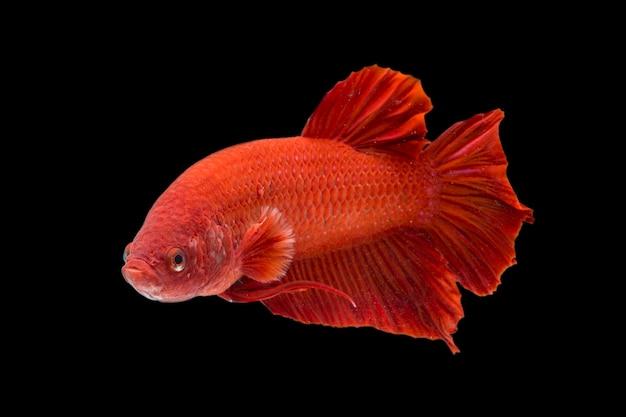 Betta fisch super rot halfmoon siamesischer kampffisch auf schwarz