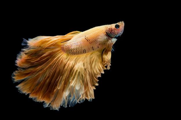 Betta-fische des gelben goldes, siamesischer kampffisch auf schwarzem hintergrund
