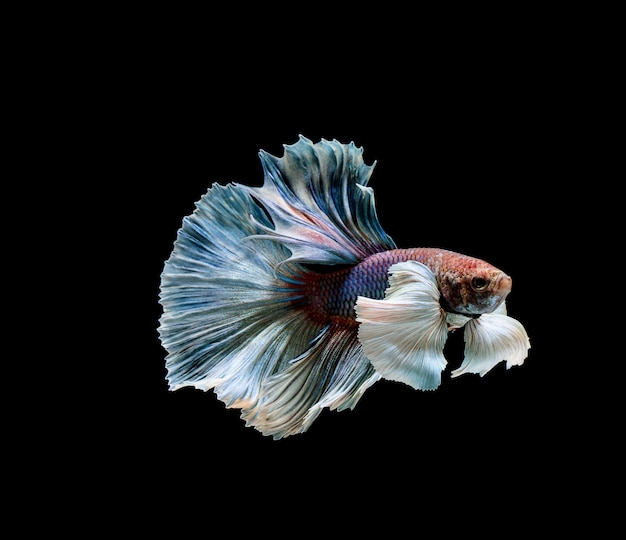 Betta fische, siamesische kämpfe, betta splendens isoliert