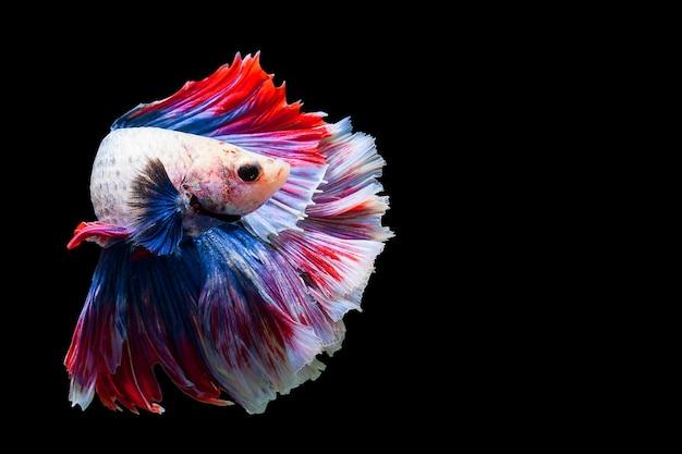 Betta siamesischer kampffisch populärer aquariumfisch. roter weißer blauer thailand-flaggenhalbmond