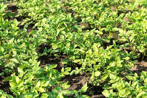 Betten von jungen bio-kartoffelpflanzen, die im gemüsefarmfeld wachsen growing