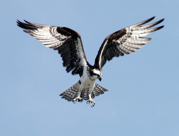 Beute fischadler vogel raptor adler