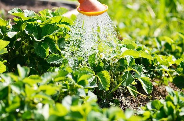 Bewässerung der pflanzen aus einer gießkanne. bewässerungslandwirtschaft und gartenarbeitkonzept.