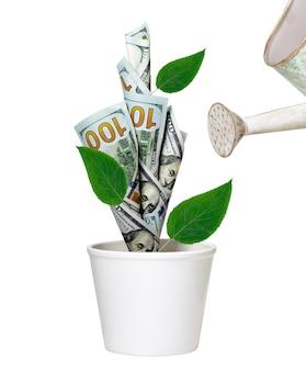 Bewässerung des grünen dollarbaums, der im weißen topf wächst. finanzielles wachstumskonzept
