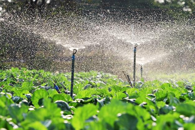 Bewässerung von gemüse in den sonnenuntergang