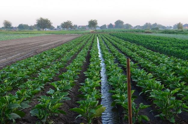 Bewässerung von landwirtschaftlichen kulturen, natürliche bewässerung, landschaft, dorf, bewässerung
